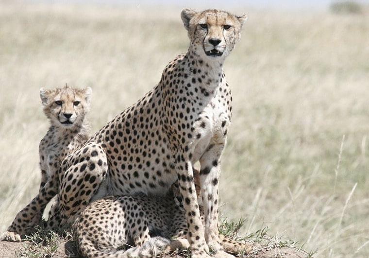 Cheetah - The Fastest Animal on the Planet | Checkmember com