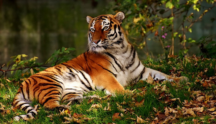 Tiger in the forest